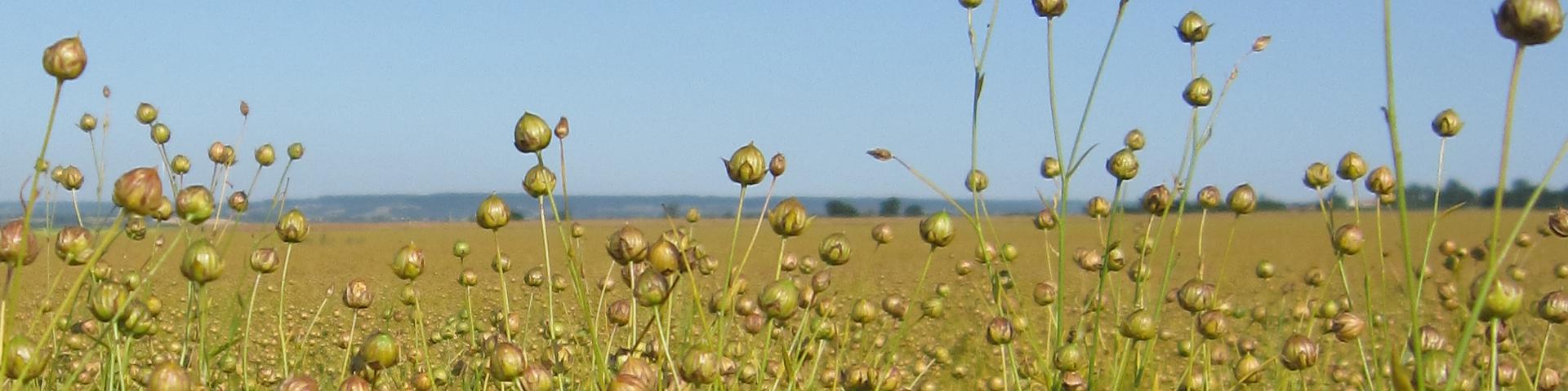 bannergrasses1