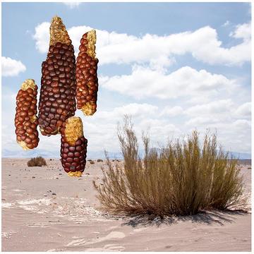 Photo of atacama maize desiccated corn cobs