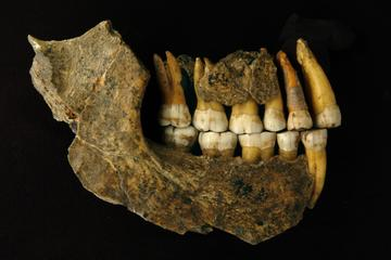 maxila and mandible of a late neanderthal from spy cave illustration by patrick semal rbins co author